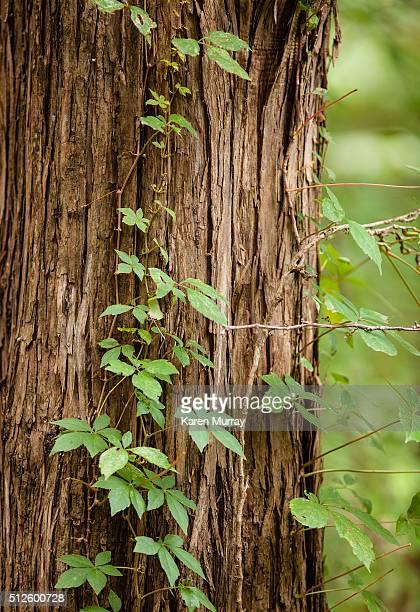 Vine growing on cedar tree