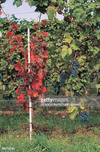 Vine in a vineyard FriuliVenezia Giulia Italy