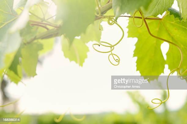 Vine in Organic Vineyard