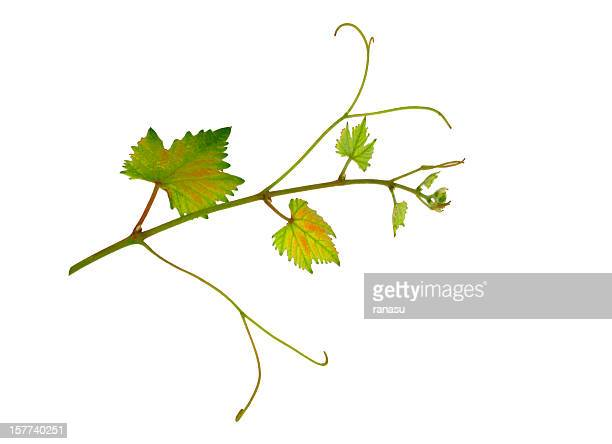 vine leaf - grape leaf stock pictures, royalty-free photos & images