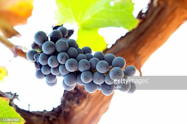 vine, leafs & wine grapes - cabernet sauvignon grape stock photos and pictures