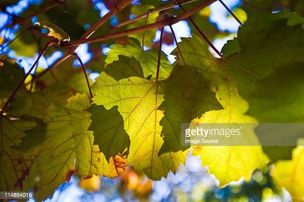 Vine leaves, close up