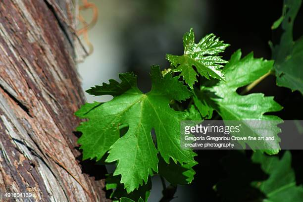 vine leaves - gregoria gregoriou crowe fine art and creative photography stock-fotos und bilder
