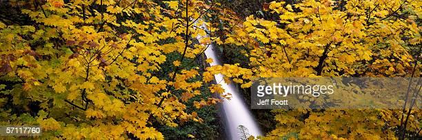Vine Maple trees surround Horsetail falls. Acer circinatum. Columbia River Gorge National Scenic Area, Oregon.