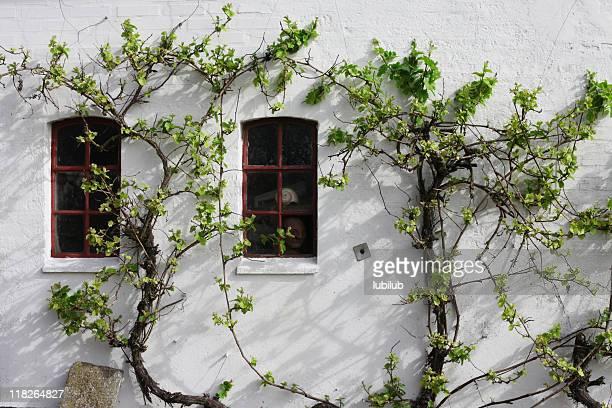 Vine on old farmhouse wall in Southern Jutland, Denmark.