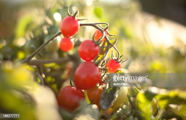 Vine ripened organic grape tomatoes