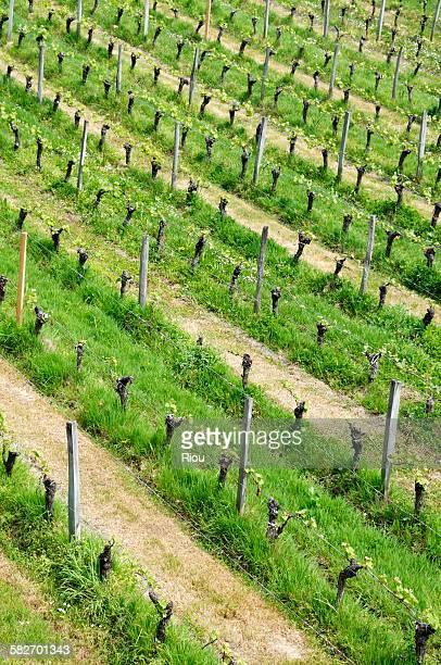 vine, saint-emilion - gironde stock pictures, royalty-free photos & images