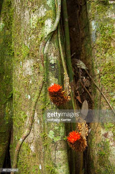 A vine with red flowers on a tree with buttress roots in the rainforest at the Maranon River in the Peruvian Amazon River basin near Iquitos