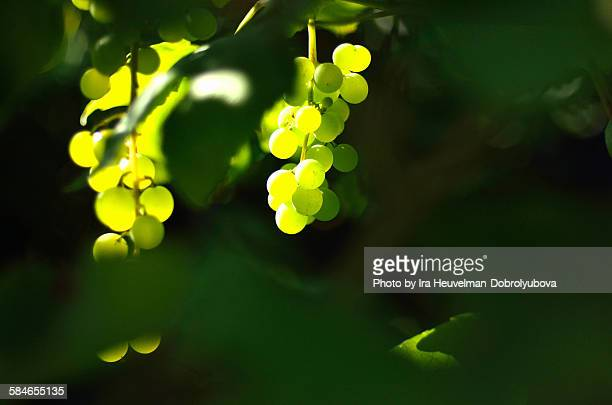 vine yard - chardonnay grape stock photos and pictures
