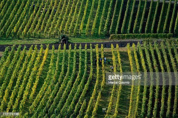 vine-harvest in Champagne