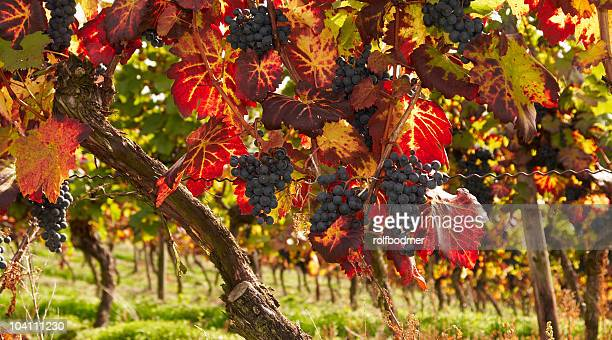 vineleaves - cabernet sauvignon grape stock photos and pictures