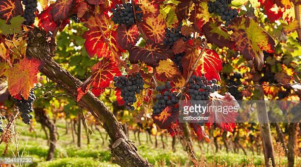 館内 - cabernet sauvignon grape ストックフォトと画像
