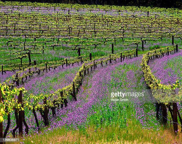 Vines among purple Salvation Jane flowers, Clare Valley, SA, Australia