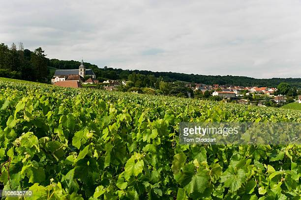 Vines are photographed on the slopes, overlooking the town of Epernay, which belong to the Co-operative of Hautvillers, where 186 wine growers...