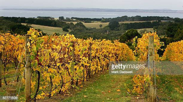 Vines grow at Red Hill Estate Winery on the Mornington Peninsula May 6 2005 in Melbourne Australia Wine grape production in Australia reached record...