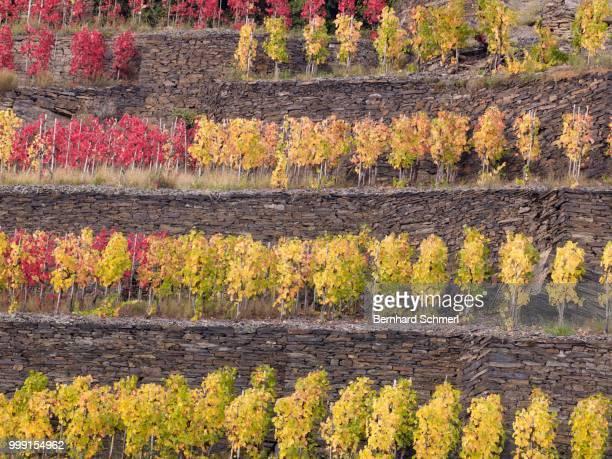 Vines growing on terraced vineyards in autumn, Mayschoss, Ahrtal, Eifel, Rhineland-Palatinate, Germany