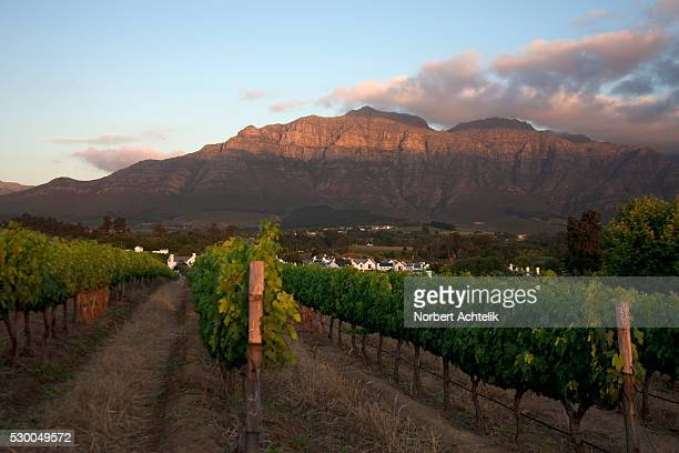 vines in a vineyard, stellenbosch, western cape province, south africa - stellenbosch stock pictures, royalty-free photos & images