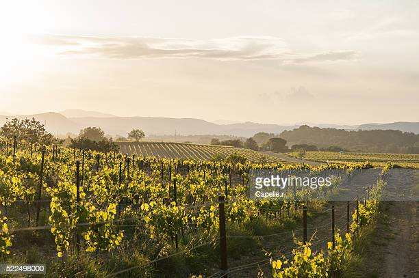 vines in france cevennes - languedoc rousillon stock pictures, royalty-free photos & images