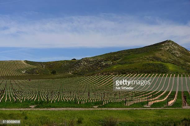 vines in vineyard in spring season near santa Maria in Southern California USA