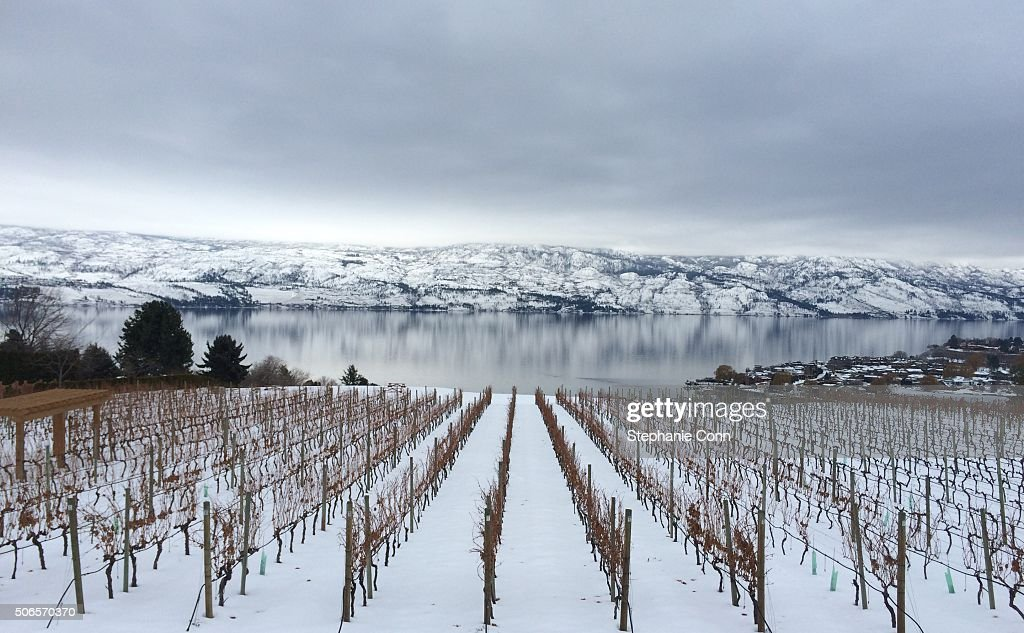 Vines in winter : Stock Photo