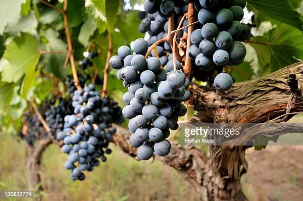 Vines of the Malbec variety, Maipu vineyards, Mendoza Province, Argentina, South America