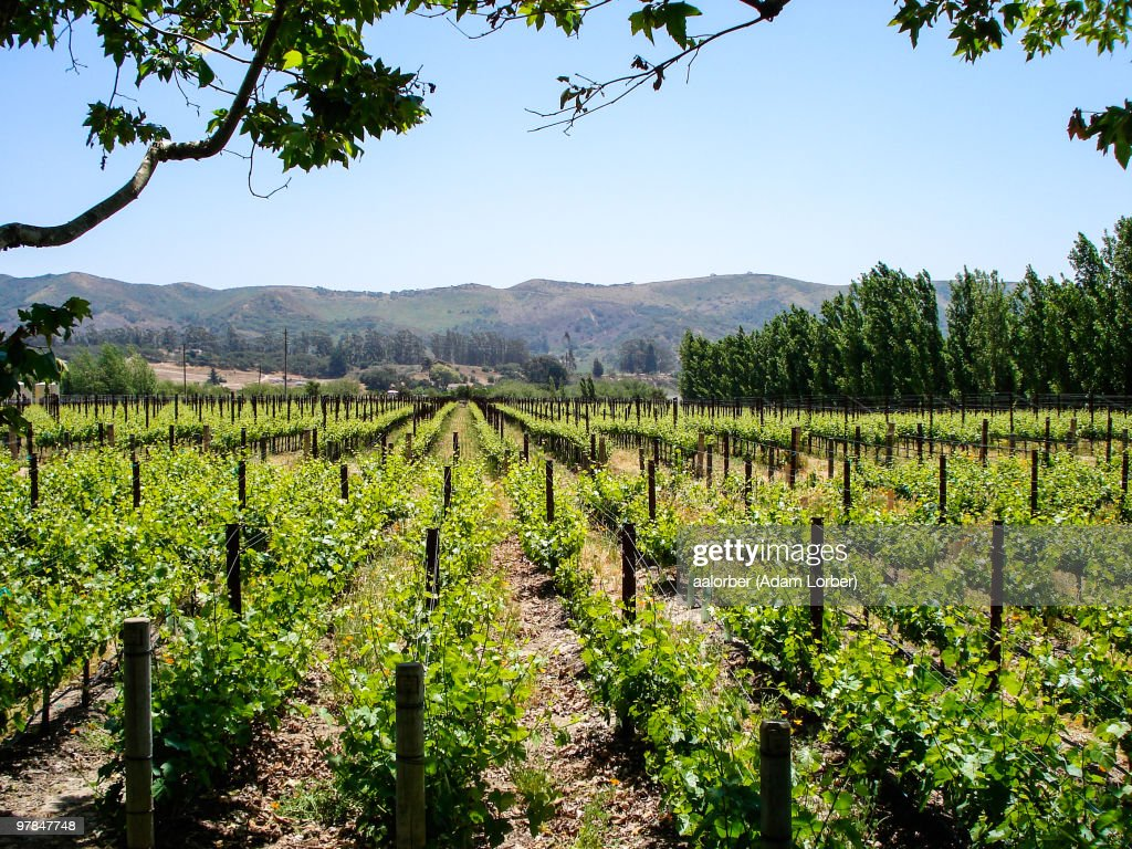 Vines : Stock Photo