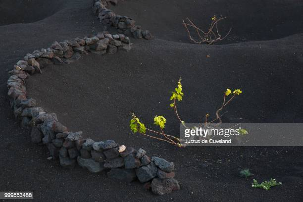 Vines protected by dry walls made of lava rocks, globally unique vineyards on volcanic ash, dry field cultivation, vineyards La Geria, volcanic landscape, Lanzarote, Canary Islands, Spain