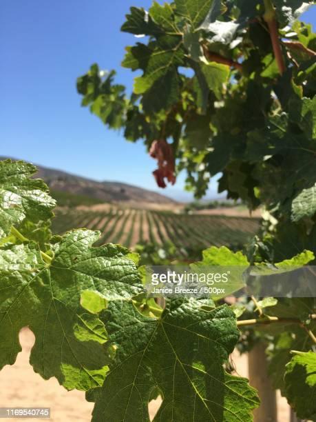 vines, temecula valley, ca - temecula valley - fotografias e filmes do acervo