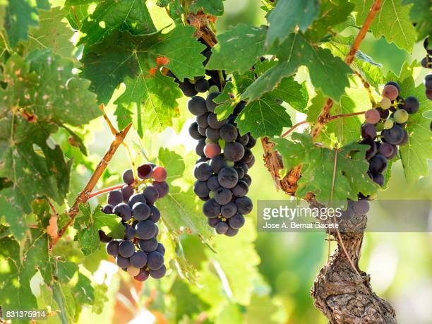 vine-stock of vineyard in summer with a cluster of grapes in process of ripeness, spain - grape leaf stock pictures, royalty-free photos & images