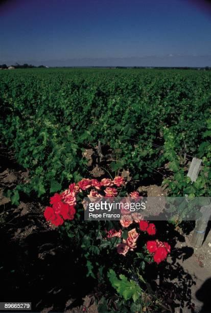 Vineyard A rosebush grows in a vineyard of the area of Bordeaux