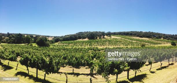 Vineyard Against Clear Sky