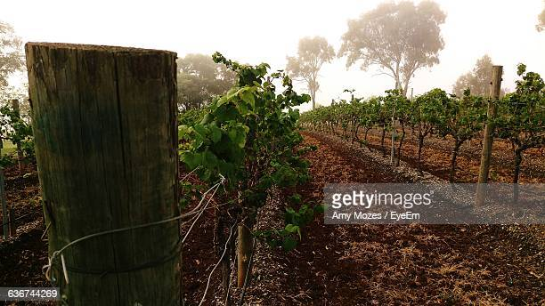 Vineyard Against Sky During Foggy Morning
