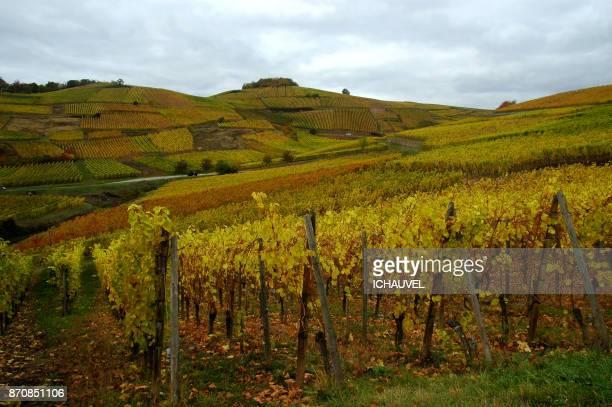 Vineyard Alsace France