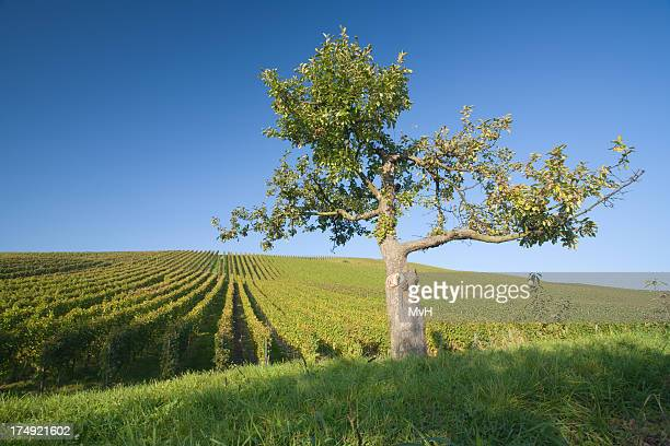 vineyard and apple tree