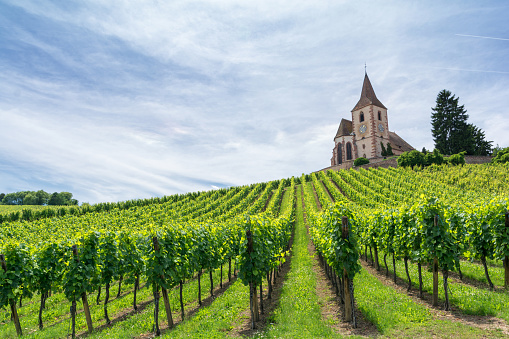 vineyard and medieval church in Alsace, France 941110924