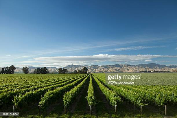 vineyard and mountain range on perfect day - blenheim new zealand stock pictures, royalty-free photos & images