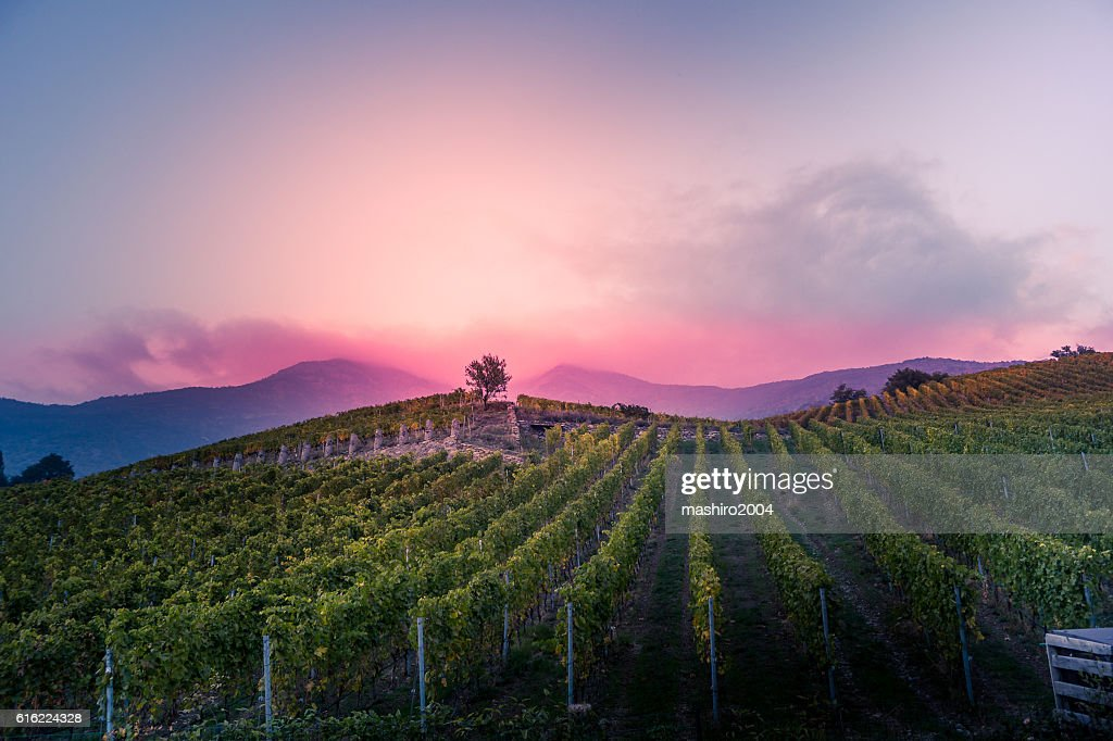vineyard at autumn sunset : Stock-Foto