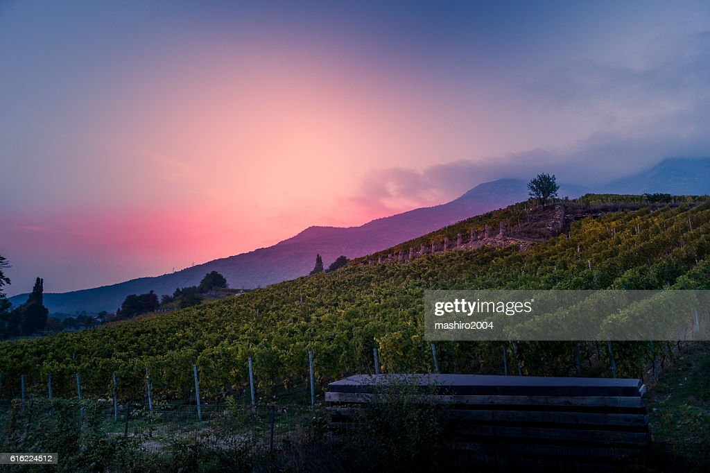 vineyard at autumn sunset : ストックフォト