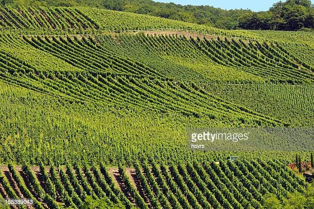 Vineyard at German mosel valley