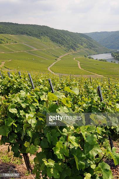 vineyard at german mosel valley - weinberg im moseltal - moselle stock pictures, royalty-free photos & images
