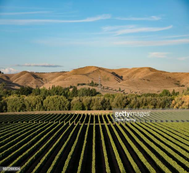 Vineyard at Hawkes Bay, North Island, New Zealand