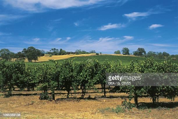 Vineyard at Nuriootpa, Barossa Valley, South Australia, Australia.