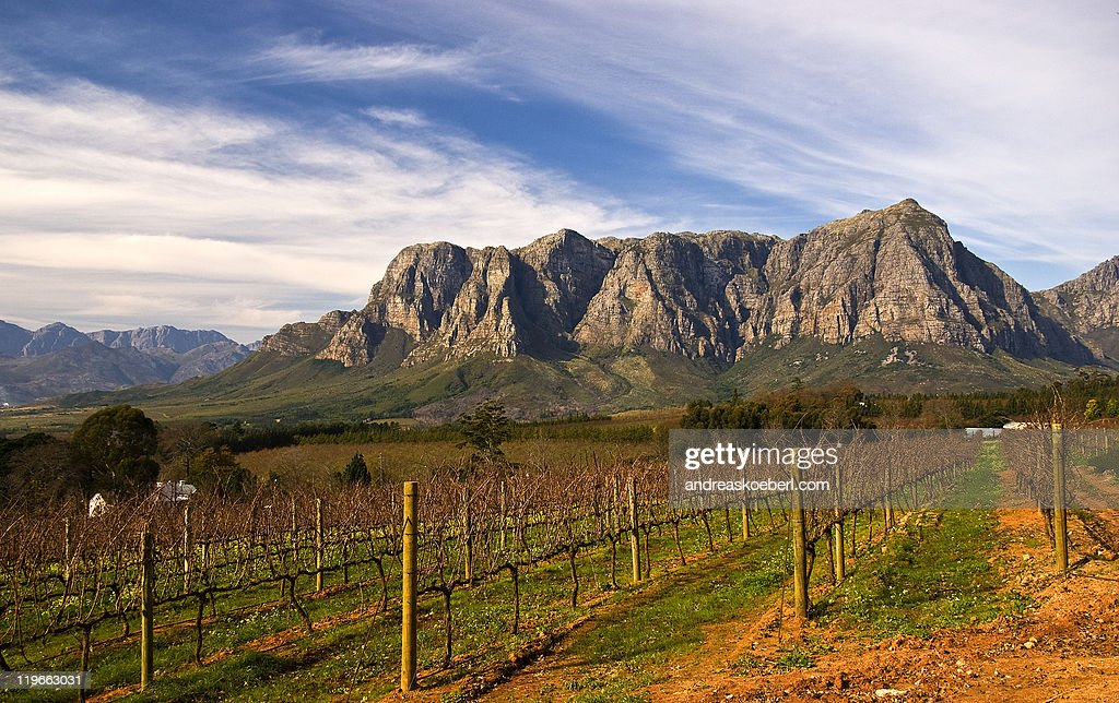 Vineyard at Stellenbosch winery with mountains : Stock Photo