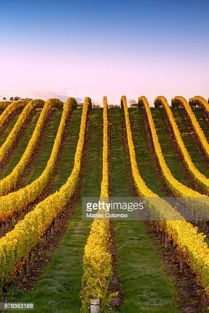 vineyard at sunrise, marlborough, new zealand - marlborough new zealand stock pictures, royalty-free photos & images