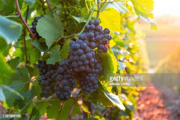 vineyard at sunset in france - weinberg stock-fotos und bilder
