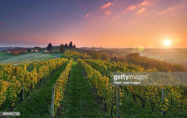 Vineyard at sunset in Slovenia
