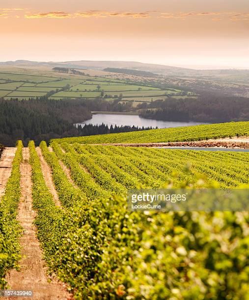 vineyard at sunset - napa california stock photos and pictures