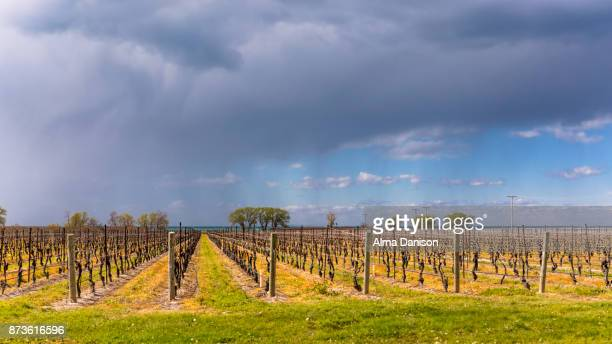 vineyard at sunset - alma danison stock photos and pictures