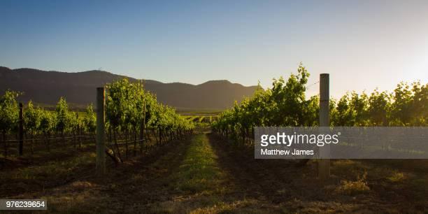 vineyard at sunset, pokolbin, australia - wine vineyard stock photos and pictures