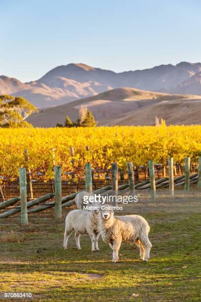 vineyard at sunset with sheep, marlborough, new zealand - marlborough new zealand stock pictures, royalty-free photos & images